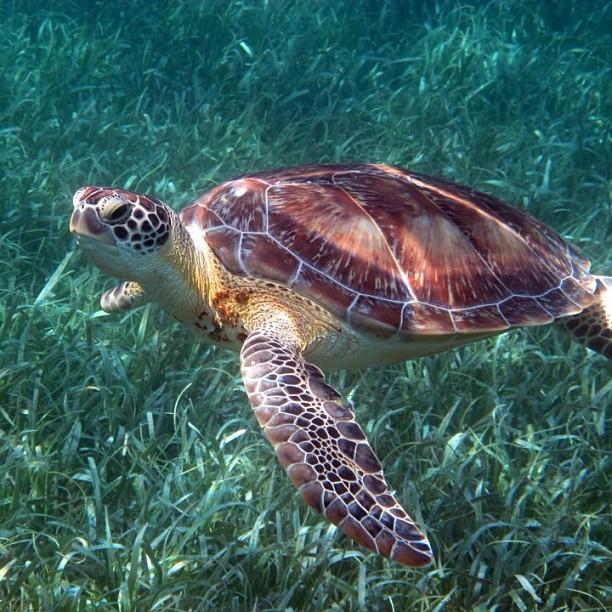 Hawksbill-turtle-Belize