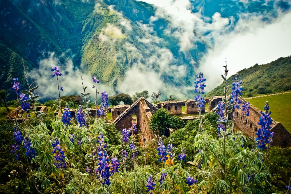 Lupins bloom above the ancient Inca ruins of Choquequirao in the Andes, Peru. Photo: Adriana Von Hagen